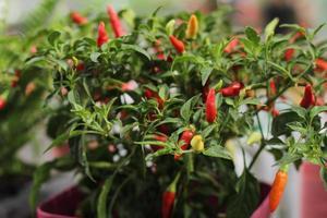 frische junge Pfefferpflanze im Topfgarten foto