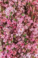 Zierpflanze, Zweige mit rosa Sakura-Blüten auf unscharfem Hintergrund foto