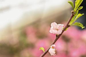 schöner Blumenfrühlingszusammenfassungsnaturhintergrund. Zweige mit rosa Kirschblüten, Sakura. für Oster- und Frühlingskarten mit Textfreiraum foto