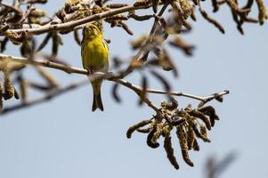 Serin-Vogel, der auf einem Zweig einer Pflanze sitzt foto