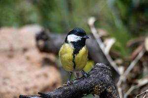 ciccianlegra Vogel auf einem Ast platziert foto