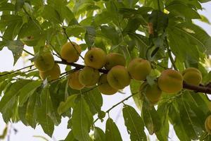 September Pfirsiche am Baum foto