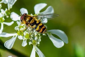 Wespe auf der Blume foto