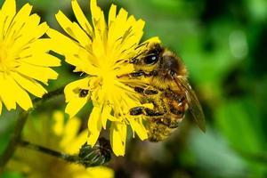 Biene auf dem foto