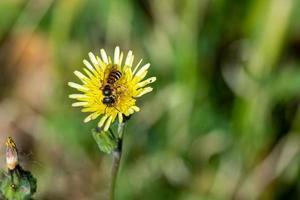Wespe auf gelber Blume foto