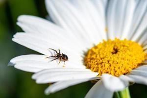 die Spinne und das Gänseblümchen foto