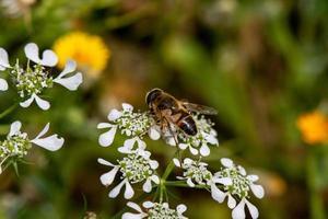 Biene auf Blume foto