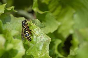 eine Wespe auf einem Salatblatt foto