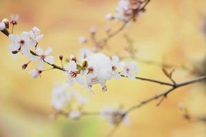 Wildkirschblüten in voller Blüte, bedeckt mit letztem Frühlingsschnee foto