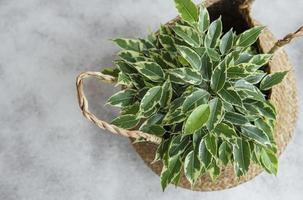 Ficus Benjamin in einem Strohkorb foto