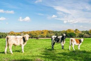 drei Kühe auf einem Bauernhof foto