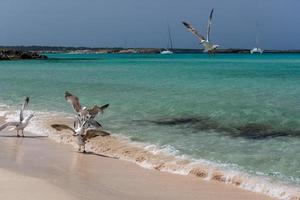 seagullon die küste von ses illetes strand auf formtera balearen in spanien. foto