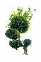 Bonsai-Baum, grüne Blätter, isoliert auf weißem Hintergrund Naturobjekte isolated foto