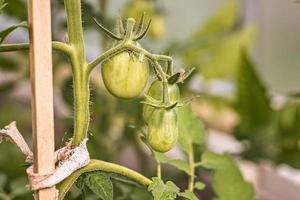 grüne unreife Tomaten hängen in einem Gewächshaus foto