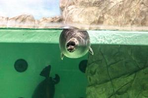 die baikalrobbe schwimmt unter wasser foto