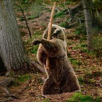 Samuraibär, verspielter Bär im Naturpark, Rehabilitationszentrum für Bären synevirska polyana, Raubtier in der Natur, Bärenkrieger. foto
