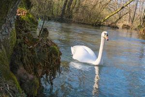 weißer Schwan, der auf dem See im Park schwimmt foto