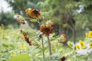 Sonnenblumen auf dem Feld foto