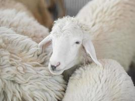 weiße Schafe auf dem Bauernhof foto