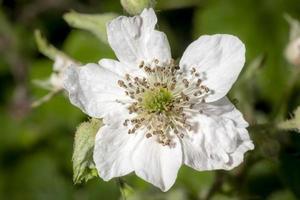 Detailaufnahme einer Brombeerblüte im Sonnenschein foto