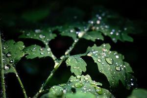 grünes Blatt mit Regentropfen auf dunkelschwarzem Hintergrund foto