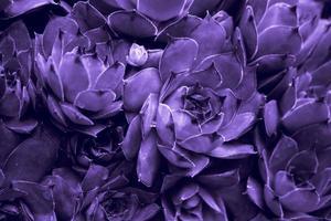 ultravioletter abstrakter Hintergrund - Nahaufnahme von Sempervivum calcareum-Hauswurz, in ultravioletter Farbe gemalt foto