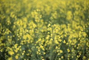 gelbe Rapsblüten auf dem Feld foto