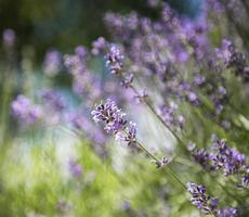 natürliche lila Lavendelblüten foto