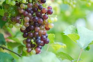 Weinberg mit reifen Trauben auf dem Land, lila Trauben hängen an der Rebe foto