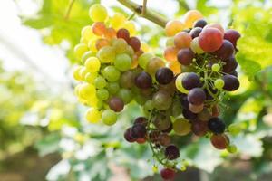 Weinberg mit Weißweintrauben auf dem Land, sonnige Trauben hängen an der Rebe foto