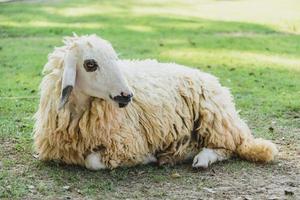 Schafe auf grünem Gras foto
