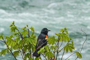 Vogel thront auf Baum, Niagara Falls, 2017 foto
