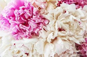Pfingstrosenblüten als Hintergrund foto