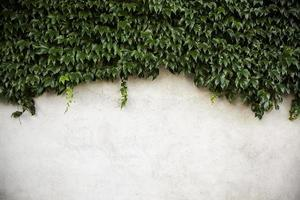 Wand mit Efeu foto