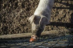 Schweine auf dem Bauernhof foto