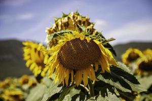 Sonnenblumenfeld in der Natur foto