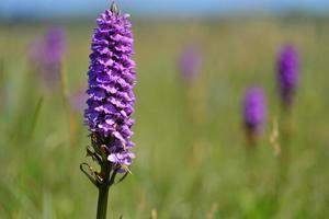 Südliche Sumpforchidee Jersey Großbritannien Frühling Wildblumen foto