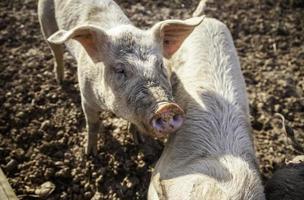 junge Schweine in einem Bauernhof foto
