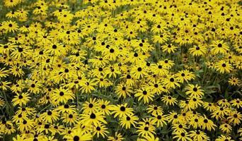 gelbe Blumen in der Natur foto