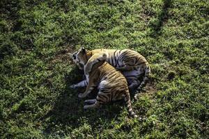 wilder Tiger im Dschungel foto