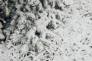 Winterwald frostiger Tag - Nadeln bedeckt mit weißem Schnee Nahaufnahme foto