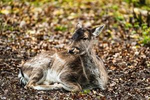 Hirsche im Wald foto