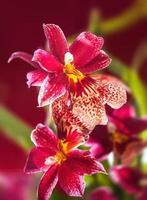 schöne rote Cambria Orchideenblüten foto
