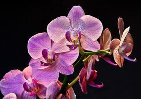 Phalaenopsis Orchideenblüte foto