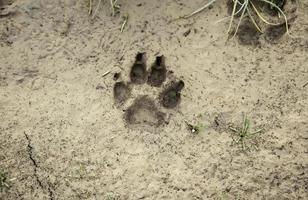 Hundespuren auf dem Boden foto