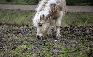 wildes Ponyfeld foto