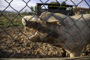 Schweinestall foto