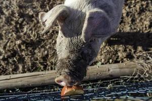 Schwein auf einer Tierfarm foto