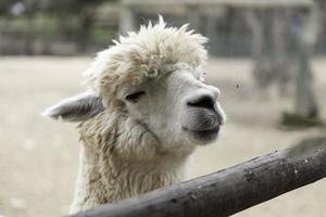 Alpaka im Zoo foto