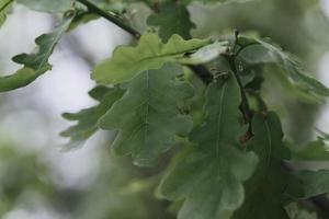 Nahaufnahme eines schönen grünen Eichenblattes auf einem Ast in einem Wald foto
